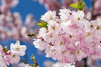Honey bee on Cherry blossom, Munich, Germany