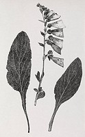 Foxglove Digitalis purpurea, 19th century artwork. These botanical drawings are from Text_book of forensic medicine and toxicology London, 1895 by the...
