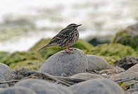 Rosy Pipit Anthus roseatus adult, non_breeding plumage, perched on stone at riverside, Chitwan N P , Nepal, january