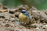 Snowy_browed Flycatcher ficedula hyperythra adult male, feeding on dung heap, Jizushan, Yunnan, China