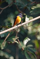 Blue_fronted Redstart Phoenicurus frontalis adult male, singing, perched on powerline, Kathmandu, Nepal, february