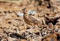 Sykes´s Lark Galerida deva adult, crest partially raised, Gujarat, India, november