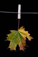 Ahornblatt auf einer Wäscheleine