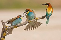 European Bee_eater Merops apiaster adult pair, with immature begging for food, perched on twig, Spain
