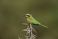 White_fronted Bee_ Eater Merops bullockoides Kenya
