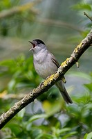 Blackcap Sylvia atricapilla Male singing