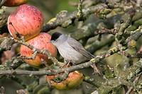 Blackcap Sylvia atricapilla adult male, feeding on apples in tree, England, december