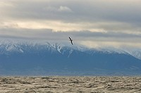 Southern Buller´s Albatross Thalassarche bulleri bulleri adult, in flight over sea, Kaikoura, South Island, New Zealand