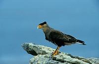 Crested Caracara Polyborus p plancus On rock / Falkland Islands