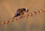 Common Stonechat Saxicola torquata adult female, perched on barbed wire, scratching neck, Little Rann of Kachchh, Gujarat, India, november