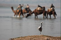 Demoiselle Crane Anthropoides virgo immature, standing beside river, Dromedary Camels in water, Chambal River, Rajasthan, India, december