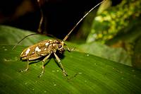 Long horned wood-boring beetle, order Coleoptera, family Cerambycidae  Photographed in Costa Rica