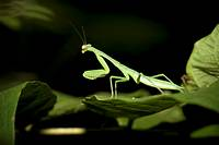 Praying mantis, order Mantodea  Photographed in Costa Rica