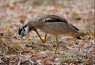 Beach Stone_curlew Esacus giganteus adult, scratching neck, Great Sandy N P , Queensland, Australia, january