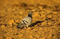Rock Dove Columba livia Adult on ground _ Sinai, Egypt, _ December