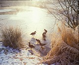 Ducks Mixed Groups Pochard _ Wigeon _ Teal _ Shoveler _ on ice S
