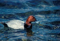 Pochard Aythya ferina Close_up of male bird on water HK001487 S