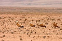 Ruddy Shelduck Tadorna ferruginea four adults, standing in desert habitat, Los Molinos, Lanzarote, Canary Islands