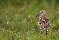 Dunlin Calidris alpina adult, standing in open moorland, Shetland Islands, Scotland