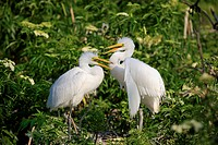 Great Egret Casmerodius albus two chicks, standing on nest in tree, Florida, U S A