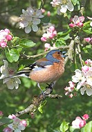 Chaffinch Fringilla coelebs Male singing _ Apple blossom _ Washington, West Sussex, England