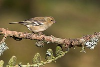 Chaffinch Fringilla coelebs adult female, perched on larch tree branch, Borders, Scotland, winter
