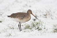 Bar_tailed Godwit Limosa lapponica adult, feeding in snow covered grazing marsh, Norfolk, England, december