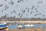 Brent Goose Branta bernicla flock in flight, in harbour estuary with pleasure craft, Wells, Norfolk, England, february