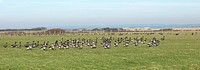 Brent Goose Branta bernicla flock, walking in pasture habitat, West Wittering, West Sussex, England, winter