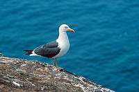 Lesser Black_backed Gull Larus fuscus adult standing