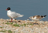 Mediterranean Gull Larus melanocephalus adult, summer plumage, with juvenile begging for food, Rye Harbour, East Sussex, England, july