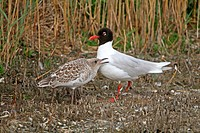 Mediterranean Gull Larus melanocephalus adult with chick, at nesting colony, Rye Harbour Reserve, East Sussex, England, july