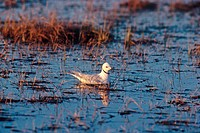Ross´s Gull Rhodostethia rosea adult, summer plumage, on water