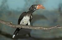 Crowned Hornbill Tockus alboterminatus