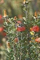 New Holland Honeyeater Phylodonyris novaehollandiae adult, feeding on Scarlet Banksia, Mt Barker, Western Australia, september