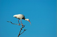 White Ibis Eudocimus albus adult on branch, Florida, U S A