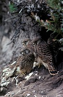 Common Kestrel Falco tinnunculus Group of young almost ready to fly S