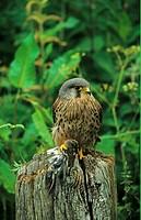 Common Kestrel Falco tinnunculus Male on post, feeding on juvenile Chaffinch