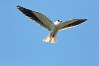 Black_shouldered Kite Elanus caeruleus adult, hovering in flight, near Kyobin, Myanmar
