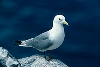 Kittiwake Rissa tridactyla close_up / standing on rock/ Craigliegh