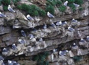 Kittiwakes Rissa tridactyla Close_up of group at nest / colony
