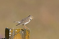 Calandra Lark Melanocorypha calandra adult male, singing, perched on post in steppe, Extremadura, Spain, april