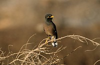 Common Mynah Acridotheres tristis Perched on branch _ front view _ Oman