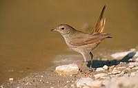 Common Nightingale Luscinia megarhynchos adult standing near water, Lesvos, Greece, may