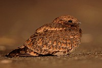 Savanna Nightjar Caprimulgus affinis adult, resting on road at night, Hong Kong, China, autumn