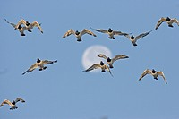 Eurasian Oystercatcher Haematopus ostralegus flock, in flight, with moon, Norfolk, England, winter