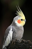 Cockatiel Nymphicus hollandicus adult