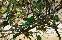 Green_rumped Parrotlet Forpus passerinus Perched on branch / Venezuela