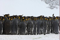 King Penguin Aptenodytes patagonicus adults, group huddled together in snow, Right Whale Bay, South Georgia