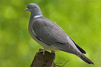 Wood Pigeon Columbus palumbus adult, perched on fence post, Borders, Scotland, spring